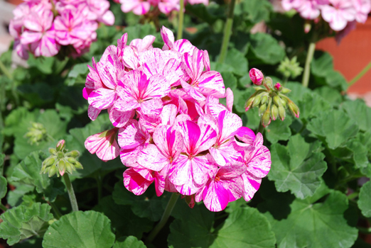 Menzione Oroflor allazienda Andreas Psenner per Pelargonium FlicFlac Red &#038; PinkZonale Pink due variet caratterizzate da fiori dai grandi petali bicolori con macchiature bianche. 